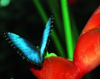 The Blue Butterfly - High Definition Range Photograph - Mounted on Wood