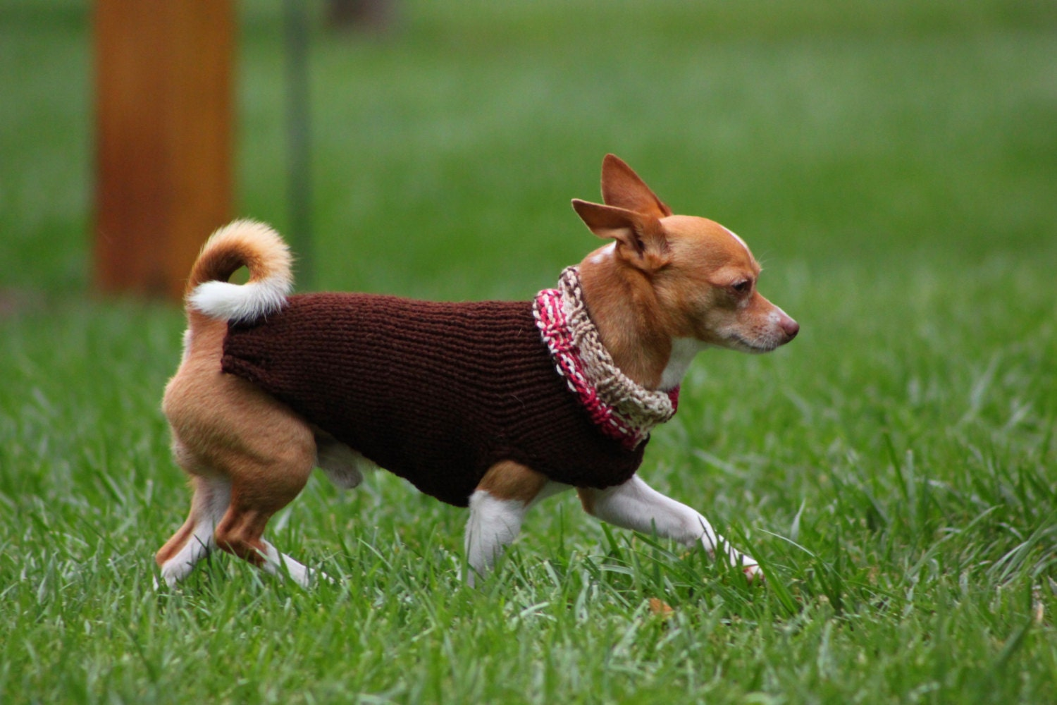that 39 s my boy collection chihuahua sweater chihuahua. Black Bedroom Furniture Sets. Home Design Ideas