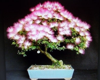 Mimosa Seeds (Albizia Julibrissi) Exotic Bonzai Tree Seeds -25 Seeds
