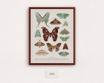 Collection of Moths - zoological illustration, vintage style, scientific drawing