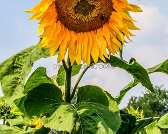 Bee-utiful Sunflower
