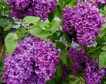 "Common Lilac - Syringa vulgaris - 3 Pack, 6""- 12"" Tall, 3.5"" Potted Plant, Landscaping, Healthy Plants, Lavender, Fragrant, Blossoms"