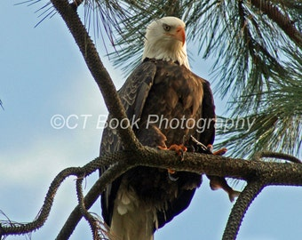 Bald Eagle perched with a fish.