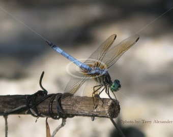 Dragonfly Photo, Nature Photo, Wall Art, Insect Picture, Dragon fly Prints, Cherub Photography, Koi Pond Photography, Dragonfly Canvas Art