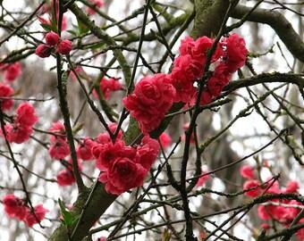 Sakura Blossoms springtime flower photograph