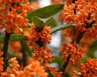 Osmanthus Fragrans Orange 5 Seeds, Very Fragrant Olive, Cold Hardy Sweet Olive Garden Tree Shrub
