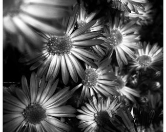 Black and White Mums