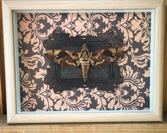 REAL butterfly, Hawk Moth, vintage, gothic, taxidermy