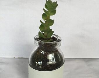 little bottle succulent
