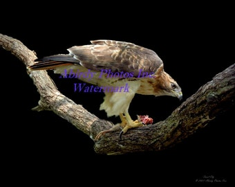 """Photo - Red_tail Hawk on Branch with Prey 10"""" x 8""""   #4941_10_2007"""