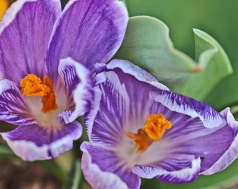 Nature Photography // Two Crocuses