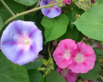 Morning Glory Grandpa Ott & Mixed Seeds climbing vine
