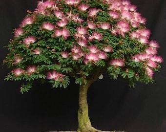 10 Mimosa Silk Tree Seeds , Albizia Julibrissin Seeds, Exotic Bonsai Tree Seeds, Rare Bonsai Tree Seeds