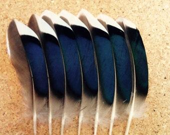 Blue Mallard Duck Wing Feathers