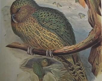 Kakapo or Owl Parrot (Strigops habroptilus)