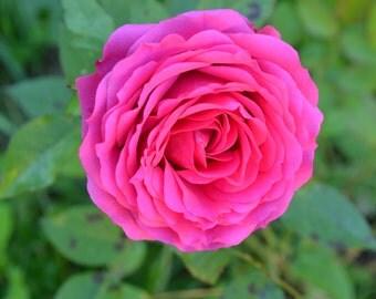 Rose digital photograph