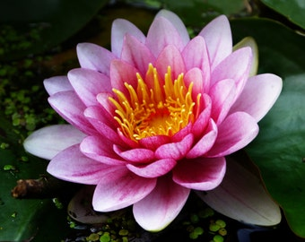 Canvas_018: Waterlily