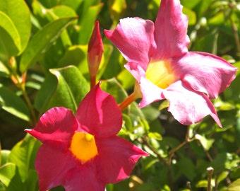 Mandevilla Dipladenia Pink ~ Live Starter Plant