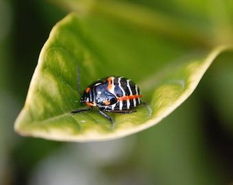 G36 - Bagrada Bug