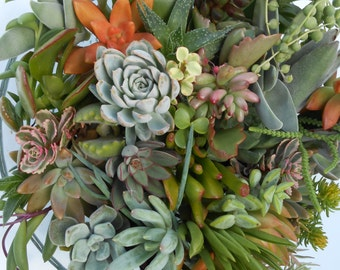 Succulent Cuttings - 20 Medium to Large High Quality Cuttings