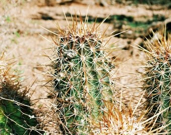 Arizona Desert Cactus Print