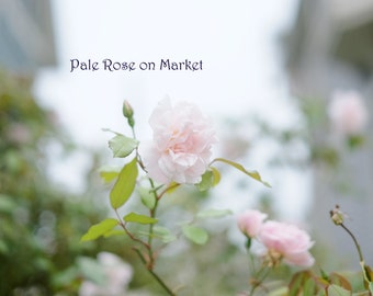 Pale Rose on Market