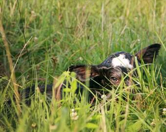 Newborn Calf in Grass Photograph Print
