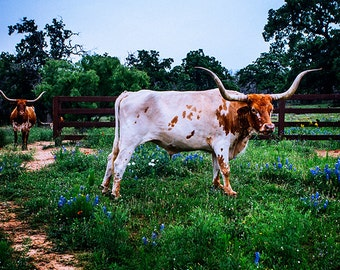 Texas Longhorns, Texas Photography, Longhorn Photo, Animal, Blue Decor, Animal Photography, Hill Country, Llano County, Ranching, Livestock