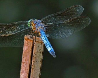 Dragonfly-Photograph of a Dragonfly