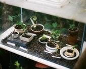 Botanical art - Personal Zen - 5x7 original film fine art photograph of a little bonsai greenhouse. Gardening inspiration, indoor garden