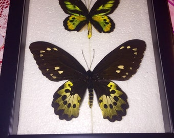 Lord Rothchild's Bird Wing Butterfly Pair