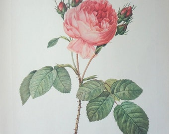 Roses 1954 Vintage Print Pierre Joseph Redoute #1 - Cottage Chic - EnglishPreserves