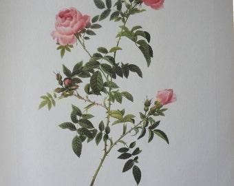 Roses 1954 Vintage Print Pierre Joseph Redoute #4 - Cottage Chic - EnglishPreserves