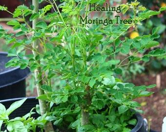 1-Moringa Oleifera Tree Live Plant, Edible - Organically Grown