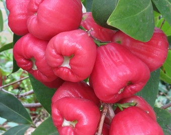 Jambu Wax Apple Plant