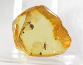 Fossil of an insect in the Baltic amber. EM667