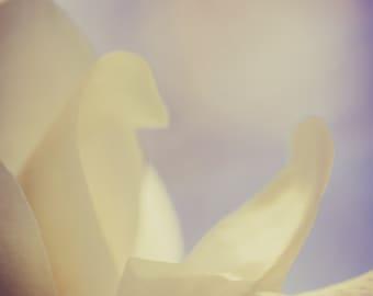 Magnolia photograph - Bashful - 16 x 24 fine art print - creamy white peach gray blue ethereal floral home decor