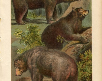 Antique Print of Bears Color Lithograph 1880s Johnson's Household Book of Nature