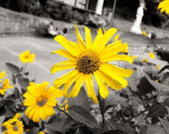 Photograph: Yellow Flower Nature Photography 8x10 Black White and Yellow