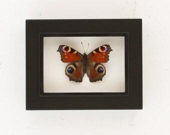 Framed Butterfly Shadowbox European Peacock