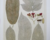 Deciduous Leaves/Lilies, 2-Sided Nature Print, Botany Print, Albertus Seba, Book Page, 8.5 x 13.5 in, Unframed Colorplate
