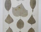 Skeletons of Leaves, 2-Sided Book Page, Albertus Seba, 8.5 x 13.5 in, Unframed Colorplate