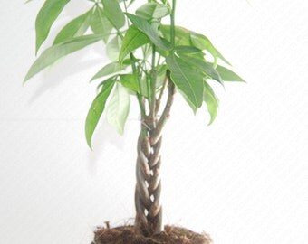 Braided Money Tree - Pachira - DIY Live Plant