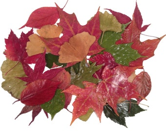 50 UV Resistant Coated, Lustrous,Soft, Supple  Real AUTUMN LEAVES, Use for Pressed Leaf Artwork, Candle Decor, Fall Wedding & Holiday Decor