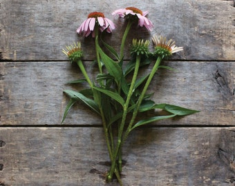 Echinacea // Purple Coneflower // organic heirloom seeds // eco friendly from our farm //  flower gardening // organic garden // herb garden