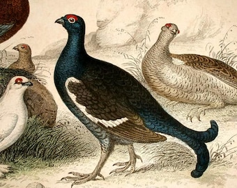 1860's ANTIQUE BIRD PRINT,engraving hand colored,Grouse,Partridge,Ptarmigan,navy,beige,brown,gray,ivory,red