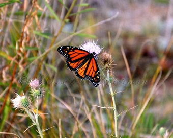 Monarch Butterfly Fine Art Photograph - Butterfly Photography - Orange and Black Butterfly Photo - Bugs Butterflies Art - Nature Photography