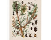 1902 FOREST INSECTS print original antique bug lithograph - insects afffecting hard pine