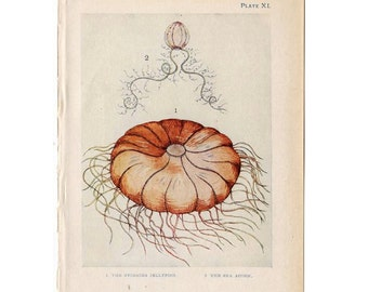 c. 1907 JELLYFISH & sea acorn print sea shore original antique sea life ocean lithograph