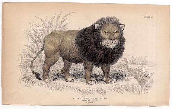 1840 LION FELIS LEO print original antique wild cat safari animal engraving - native of africa  black maned lion just like Cecil in Zimbabwe